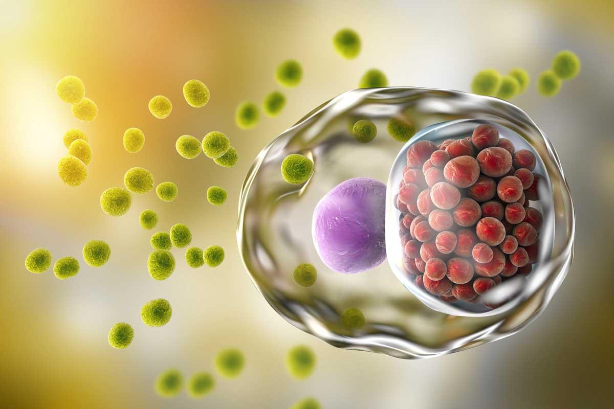 Chlamydien - Bakterium Chlamydia trachomatis in menschlicher Zelle