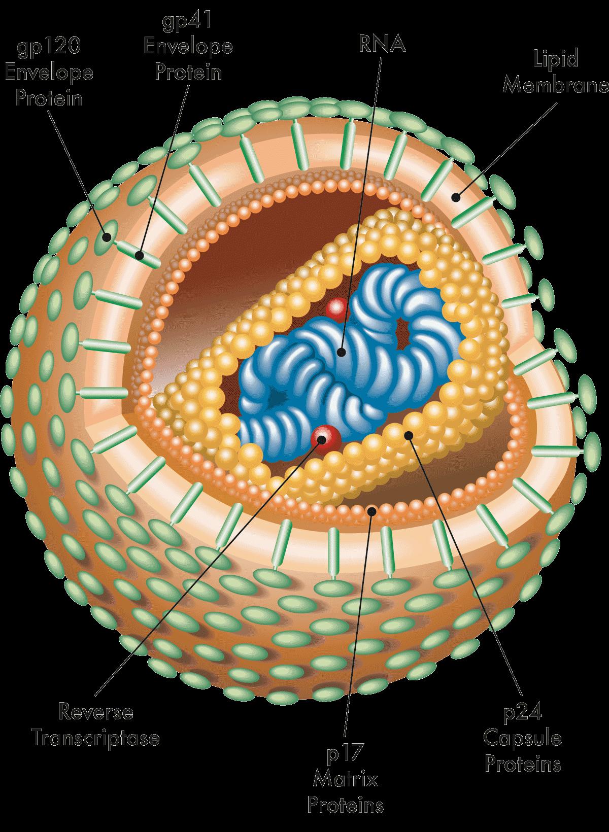 Schematischer Aufbau des HIV