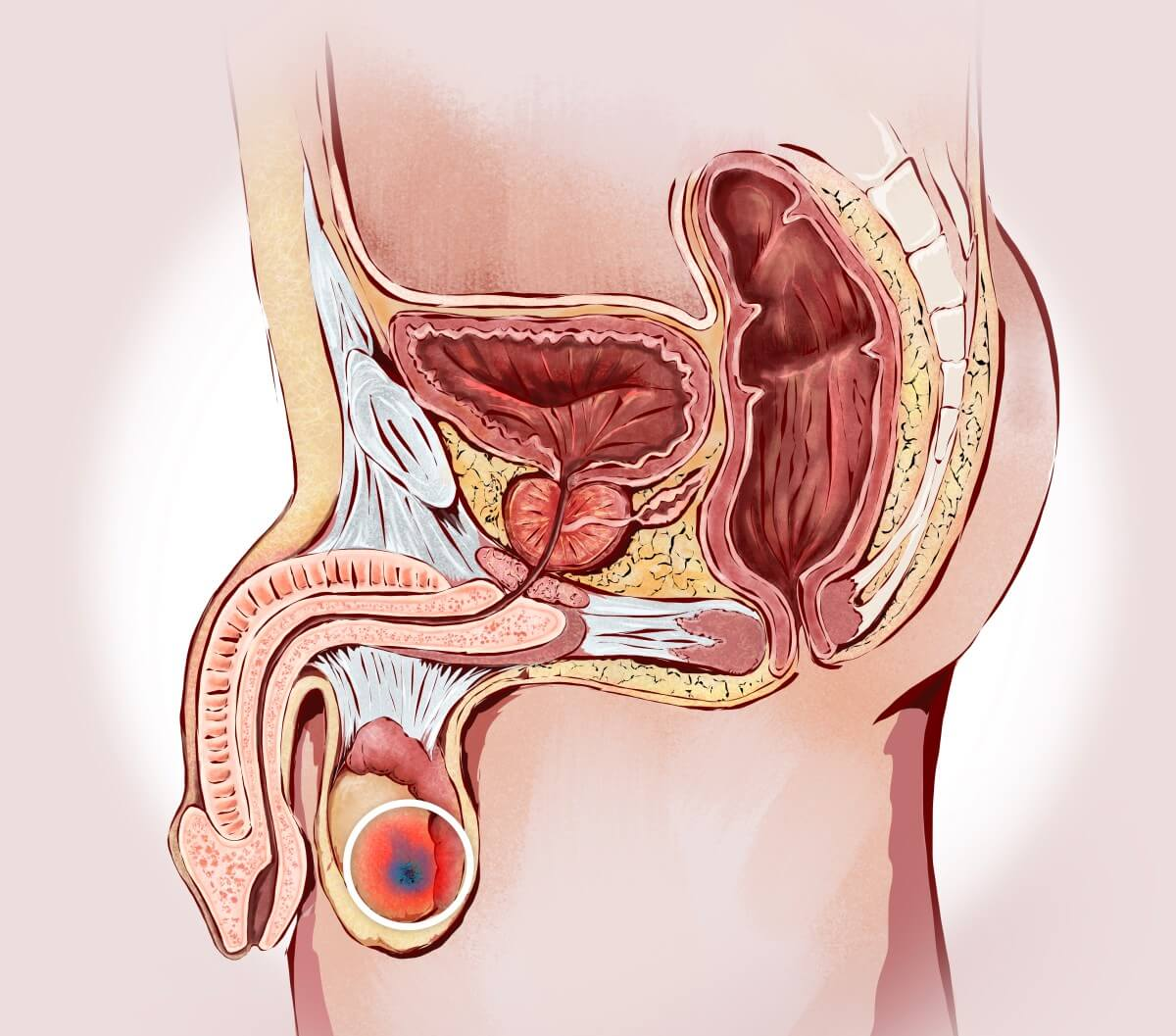 Lage der Hoden im menschlichen Körper