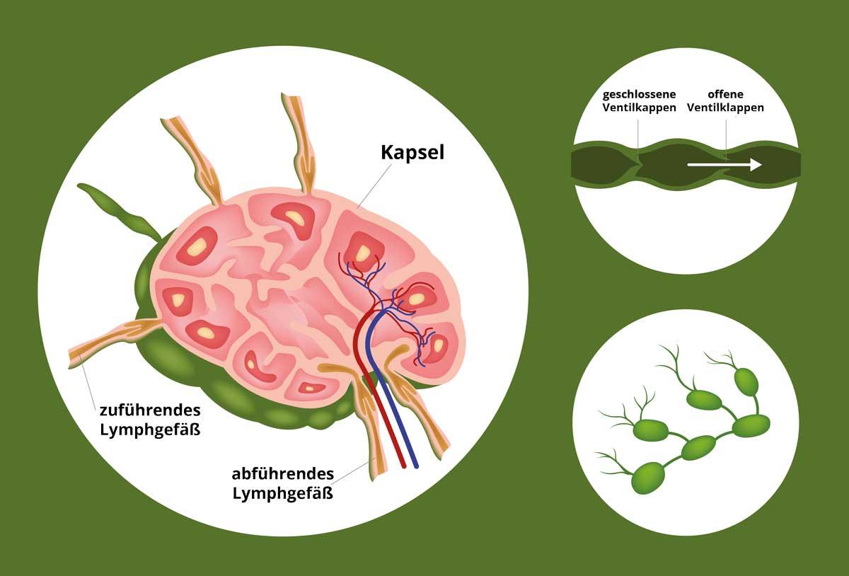 Aufbau eines Lymphknotens