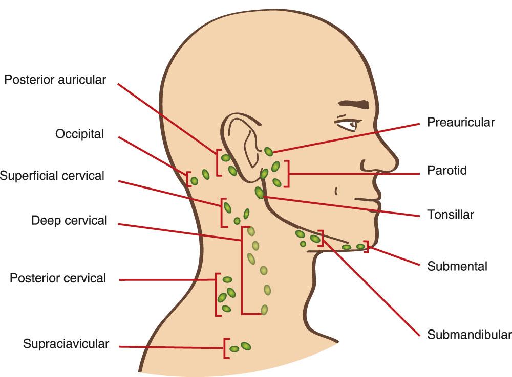 Lage der Lymphknoten am Hals